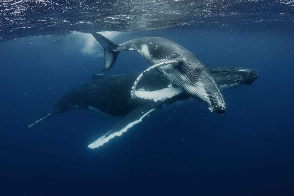 Roam underwater with Tonga's humpback whales